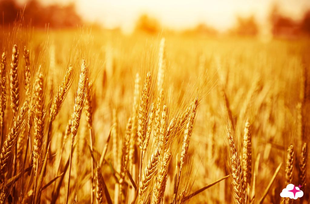 Tête de lit champ de blé - Visuel